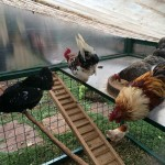 Inside the Chicken Coop