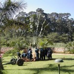 Transplanting of Traveler Palm