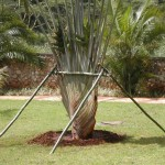 Transplanting of Traveler Palm-2