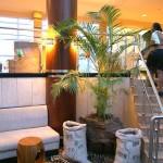 Chrysalidocarpus Palm