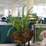 Indoor Desk Fern